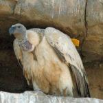 B649 Cape Vulture